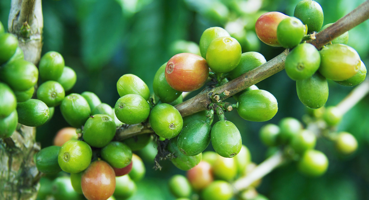 Wellness Trend to Watch: Green Coffee