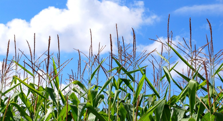 New Evidence: GMO Crops Could Increase Cancer Risk