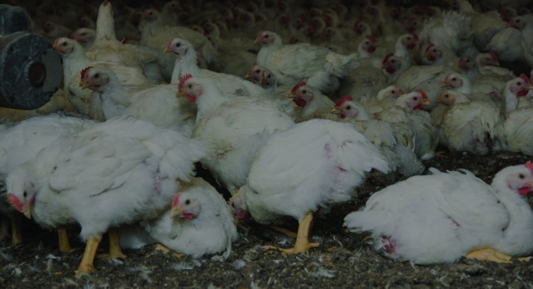 Why Cheap Supermarket Prices Are Making Chickens Sick