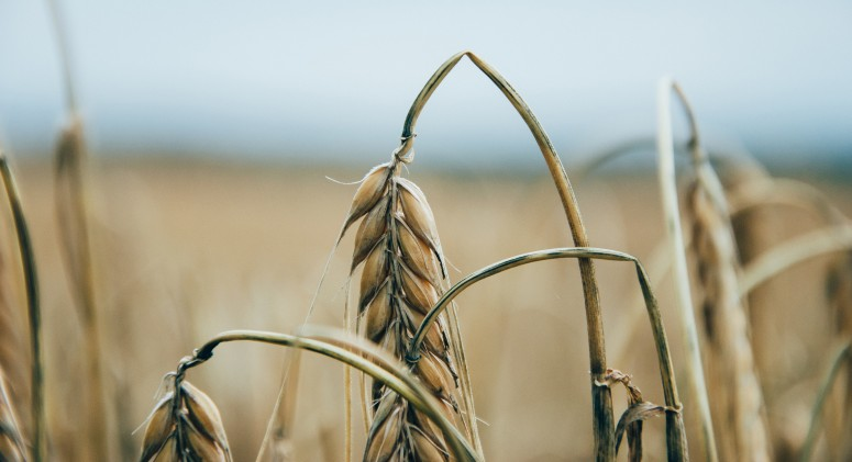 Why Ancient Wheat Might Be the Newest Trendy Grain