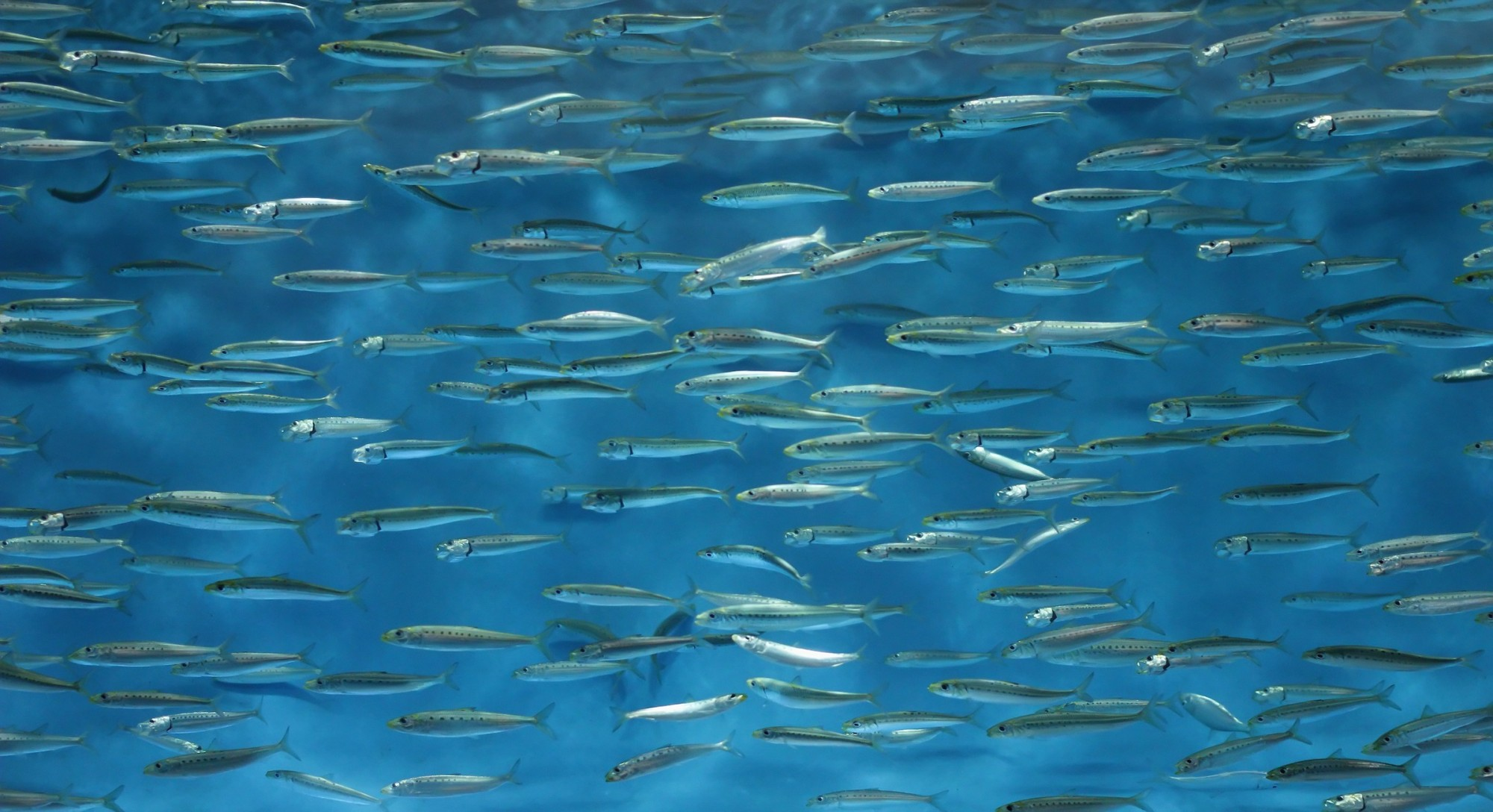 Can a Fish Food Made From Insects Make Aquaculture Sustainable?