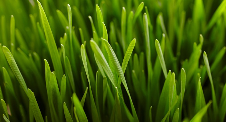 Is Wheatgrass All It's Cracked Up To Be?