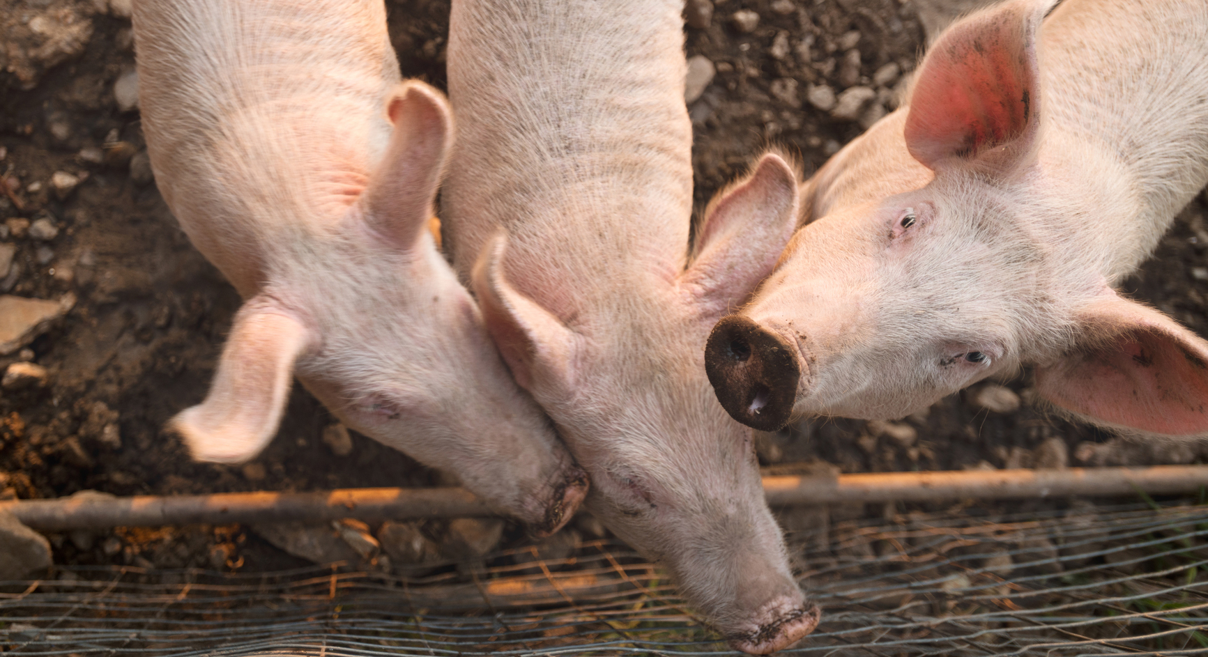 New Antibiotic-Resistant Gene Found in Pigs: Another Reason to Go Organic?
