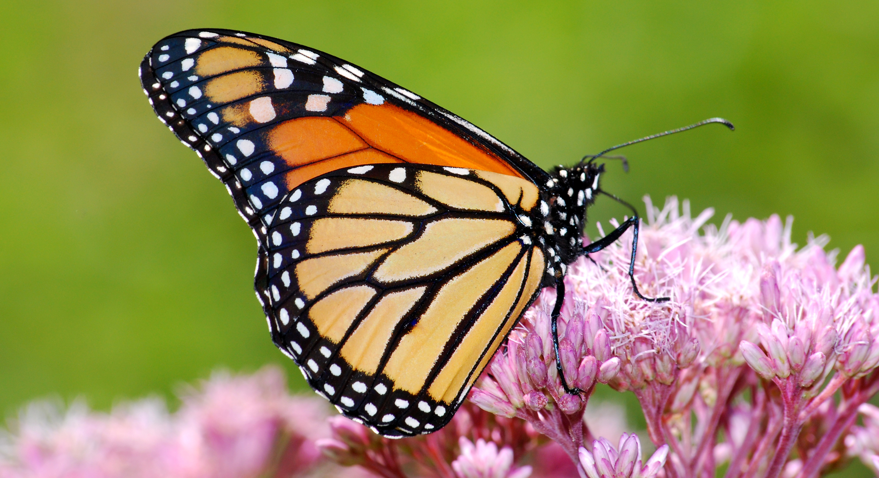 80d6eae35dccf Why Monarch Butterflies Are a Big Deal for the Food System - Thrive
