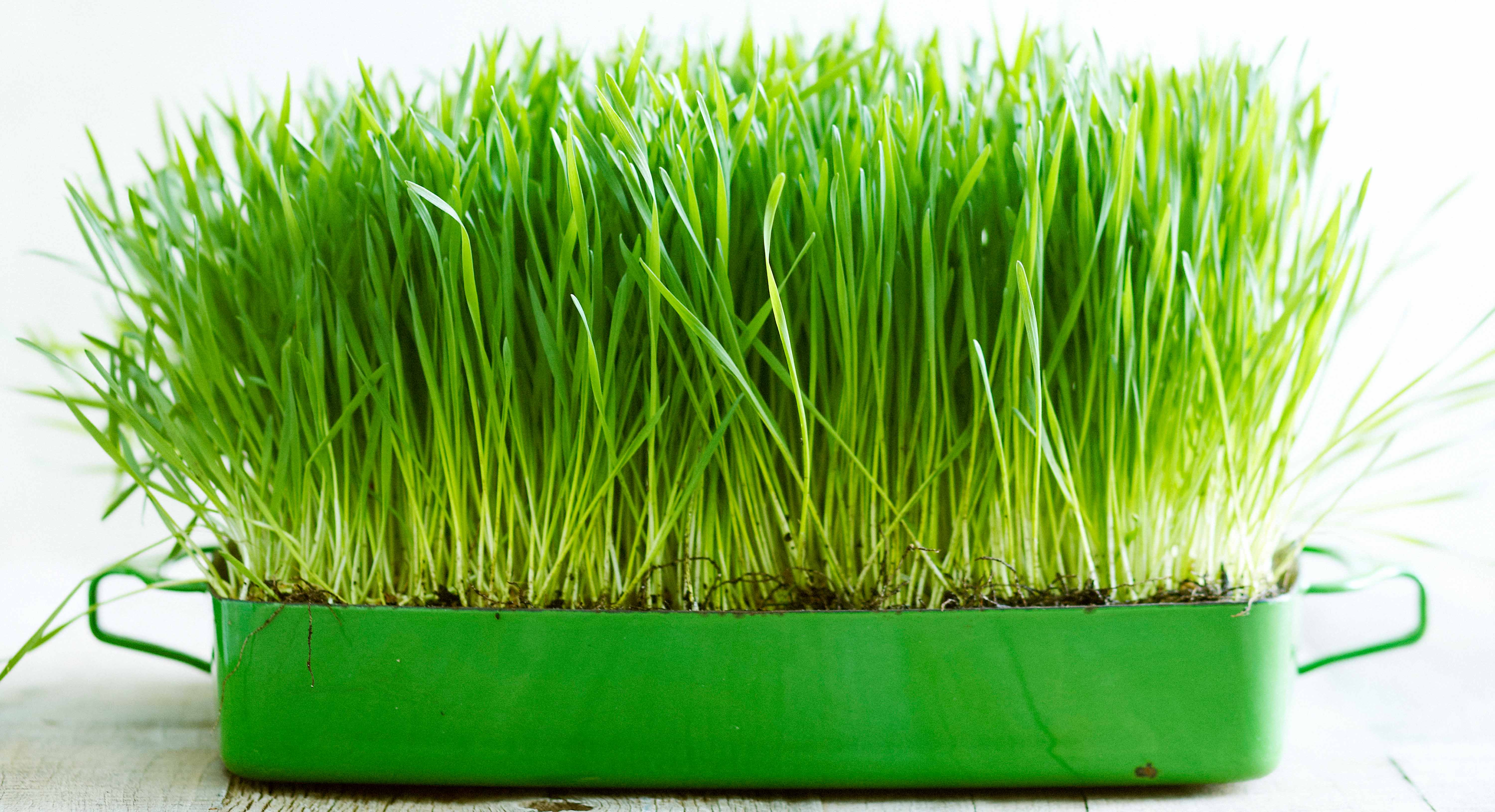 Wheatgrass Benefits Thrive Market