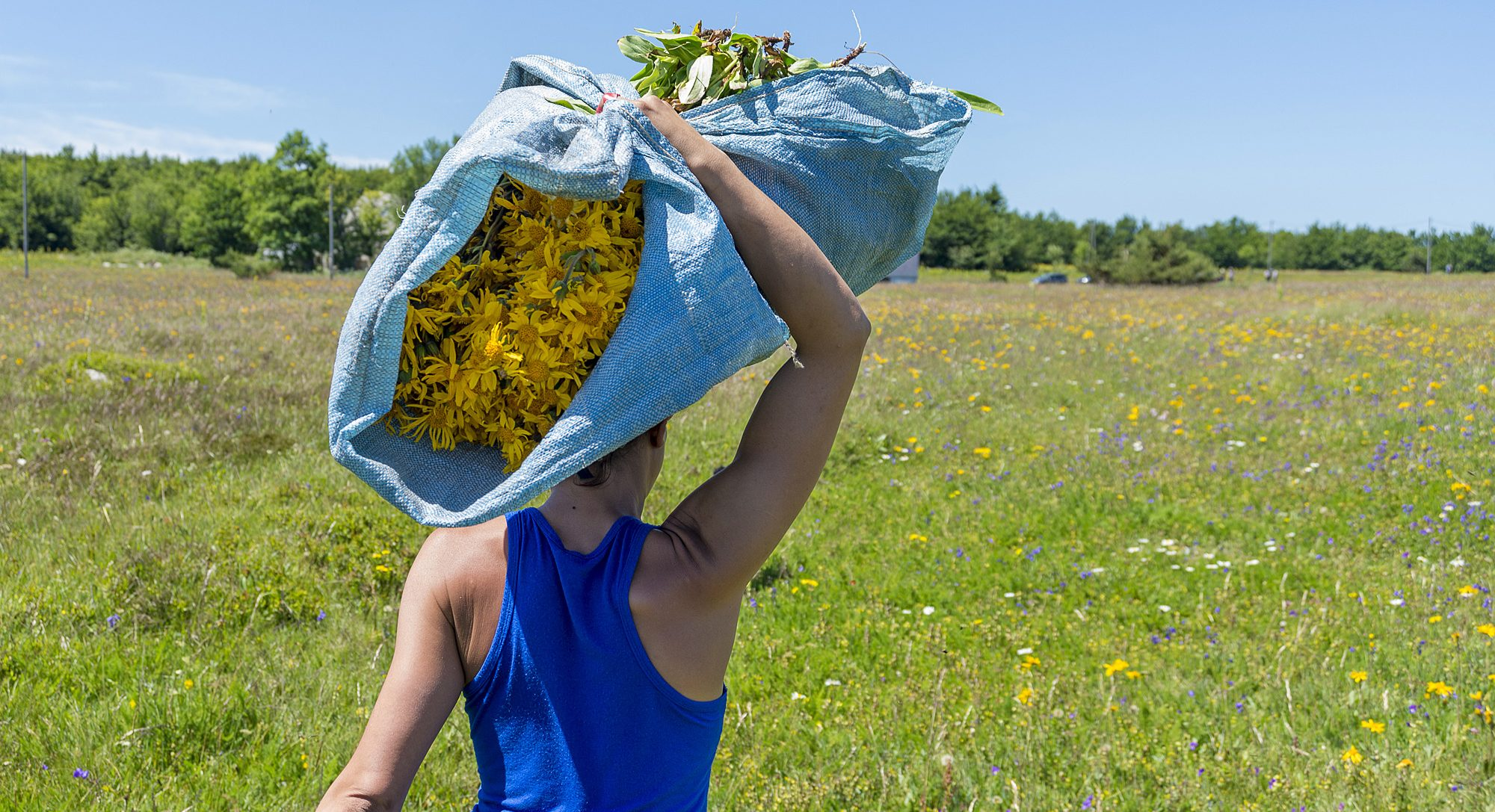 All About Arnica—Boiron Fills Us In On This Homeopathic Plant