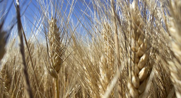 Thrive Market Biodynamic Pasta Wheat