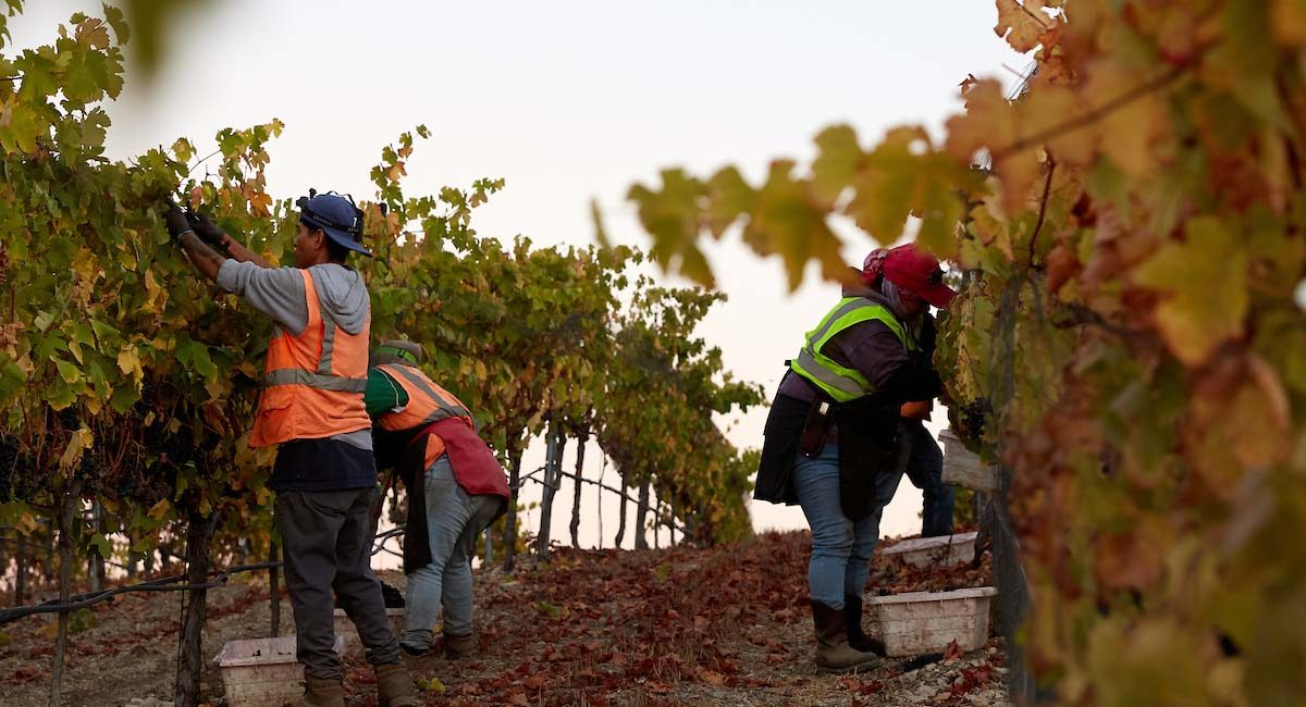 Grape picking in Santa Maria, California