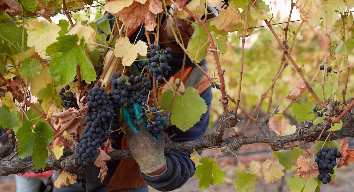 Harvesting grapes on a Biodynamic farm