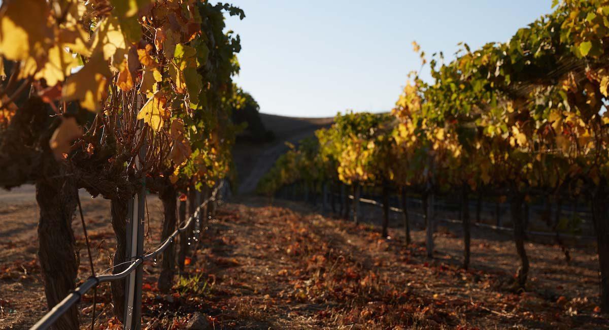 Grape vines at sunrise