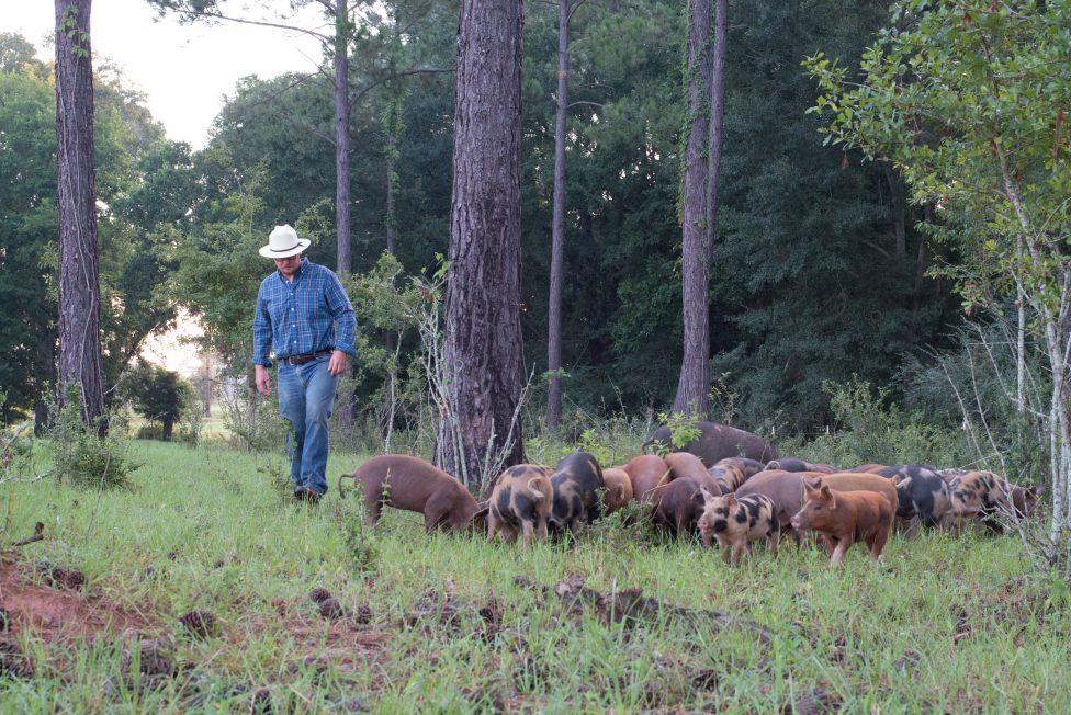 White Oak Pastures GAP hogs