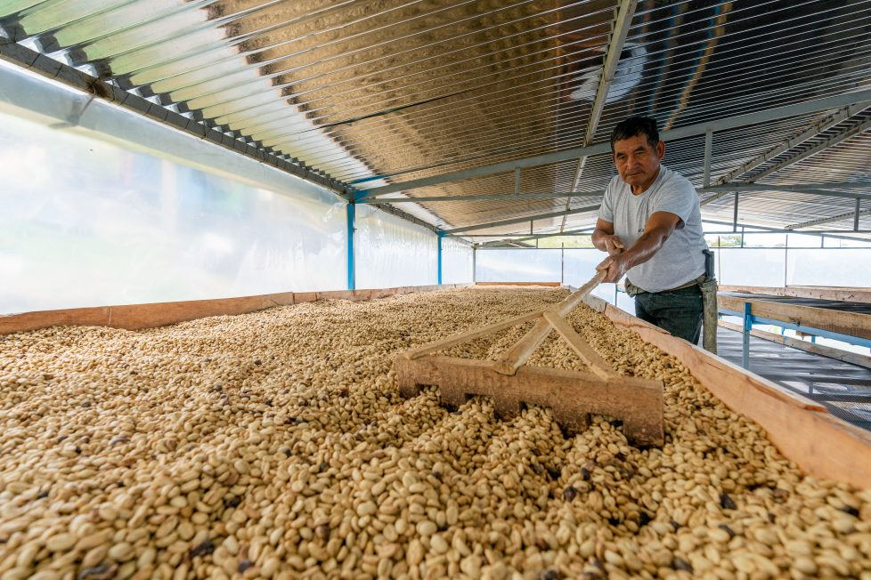 Peruvian coffee worker drying coffee beans