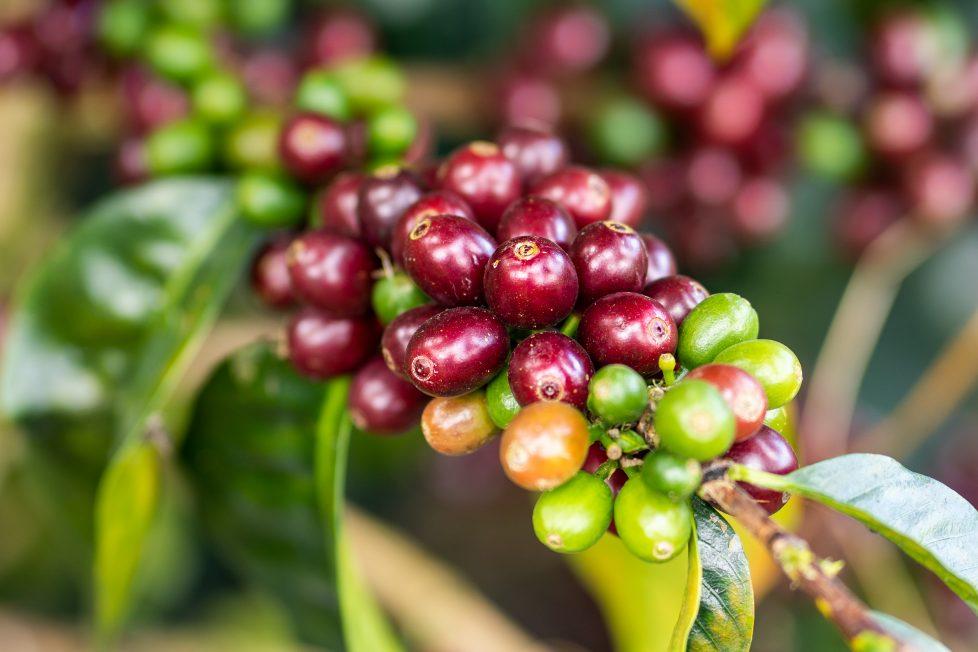 Peruvian coffee cherries