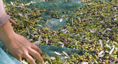 Grecian Gold: Our Search for the Best Olive Oil