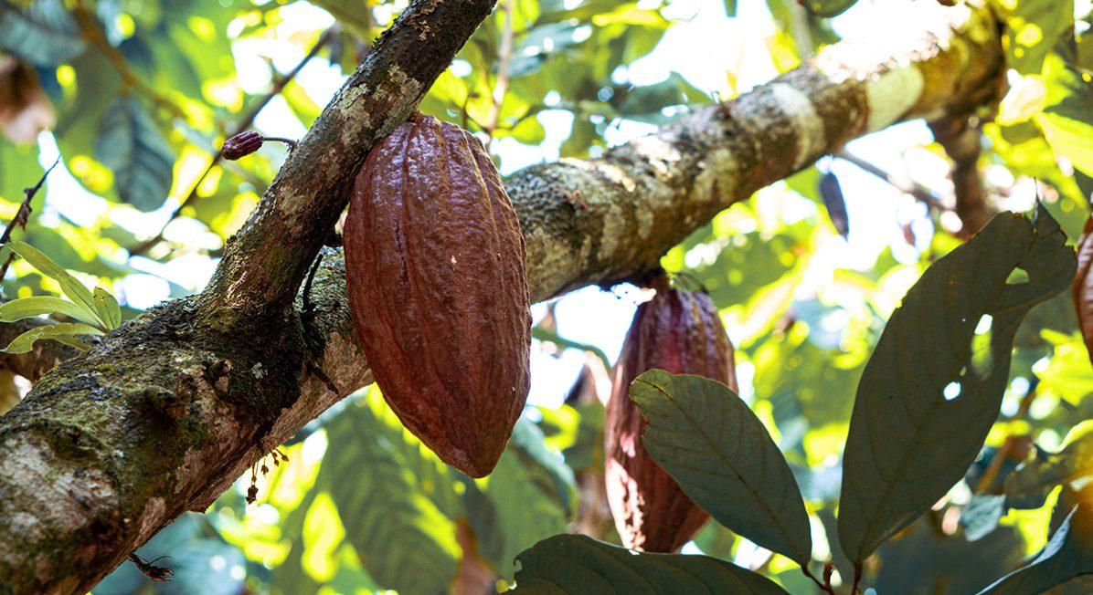Whole cacao pods grow on a cacao tree