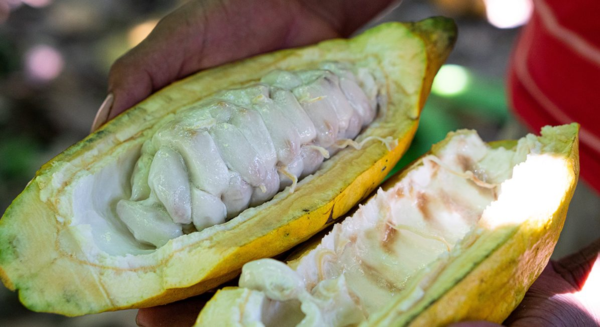 A farmer holds a whole cacao pod filled with beans